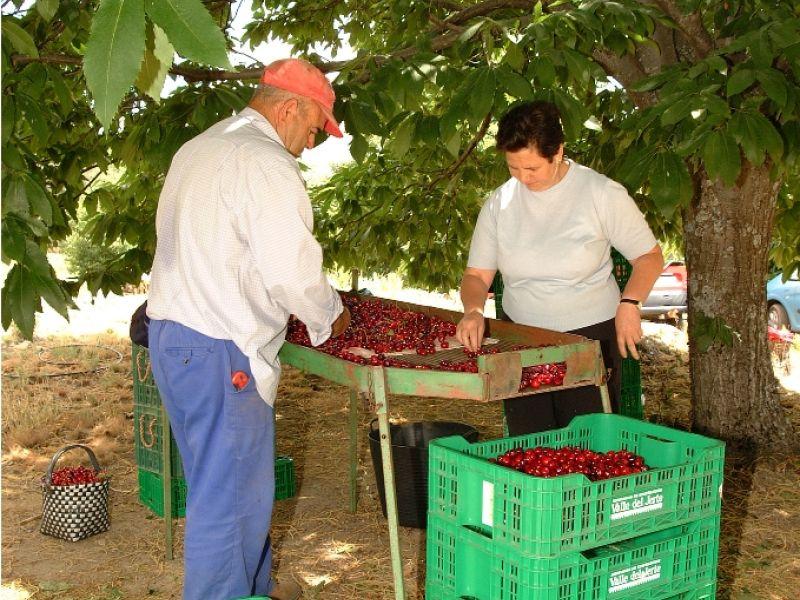 Recolecci n de cerezas en el valle del jerte for Oficina de turismo valle del jerte